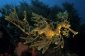 Photo: dd001110Leafy sea dragon, Phycodurus eques, Kangaroo Island, Pacific, South Australia