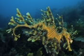 Photo: dd001111     Leafy sea dragon , Phycodurus eques,  Kangaroo Island, Pacific, South Australia