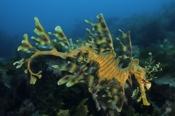 Photo: dd001111Leafy sea dragon, Phycodurus eques, Kangaroo Island, Pacific, South Australia