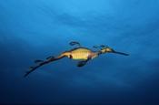 Photo: dd001113Weedy Seadragon, Phyllopteryx taeniolatus, Kangaroo Island, Pacific, South Australia