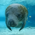 Photo: dd000802     West Indian Manatee , Trichechus manatus,  Crystal River, Florida, USA