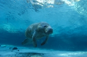 Photo: dd000810     West Indian Manatee , Trichechus manatus,  Crystal River, Florida, USA