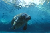 Photo: dd000811     West Indian Manatee , Trichechus manatus,  Crystal River, Florida, USA