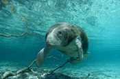 Photo: dd000821     West Indian Manatee , Trichechus manatus,  Crystal River, Florida, USA