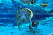 Photo: dd000822     West Indian Manatee , Trichechus manatus,  Crystal River, Florida, USA