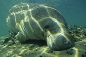 Photo: dd001029     West Indian Manatee , Trichechus manatus,  Crystal River, Florida, USA