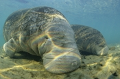 Photo: dd001031     West Indian Manatee , Trichechus manatus,  Crystal River, Florida, USA