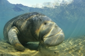 Photo: dd001042     West Indian Manatee , Trichechus manatus,  Crystal River, Florida, USA