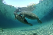 Photo: dd001512     West Indian Manatee, Trichechus manatus, Crystal River, Florida, USA