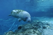 Photo: dd001548     West Indian Manatee, Trichechus manatus, Crystal River, Florida, USA