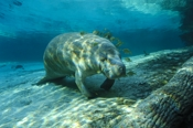 Photo: dd001549     West Indian Manatee, Trichechus manatus, Crystal River, Florida, USA