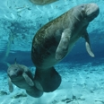 Photo: dd001580     West Indian Manatee , Trichechus manatus,  Crystal River, Florida, USA
