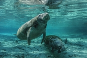 Photo: dd001591     West Indian Manatee , Trichechus manatus,  Crystal River, Florida, USA