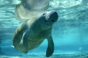 Photo: dd001596     West Indian Manatee, Trichechus manatus, Crystal River, Florida, USA
