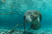 Photo: dd001597     West Indian Manatee , Trichechus manatus,  Crystal River, Florida, USA