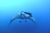 Photo: dd001372     Manta ray, Manta birostris, San Benedicto, Revillagigedo Socorro Island, Pacific, Mexico