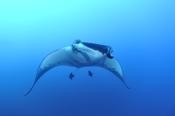 Photo: dd001372Manta ray, Manta birostris, San Benedicto, Revillagigedo Socorro Island, Pacific, Mexico