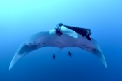 Photo: dd001373     Manta ray, Manta birostris, San Benedicto, Revillagigedo Socorro Island, Pacific, Mexico
