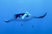 Photo: dd001377     Manta ray, Manta birostris, San Benedicto, Revillagigedo Socorro Island, Pacific, Mexico