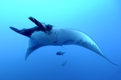 Photo: dd001380Manta ray, Manta birostris, San Benedicto, Revillagigedo Socorro Island, Pacific, Mexico