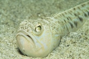 Photo: dd011064     Greater weever , Trachinus draco,  Corsica, France, Mediterranean Sea