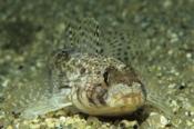 Photo: dd011065Slender Goby , Gobius geniporus,  Corsica, France, Mediterranean Sea