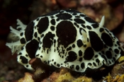 Photo: dd011067     Leopard Nudibranch , Peltodoris atromaculata,  Sardinia, Italy