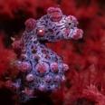 Photo: dd001047Pygmy seahorse, Hippocampus bargibanti, Lembeh Strait, Indopacific, Indonesia