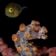 Photo: dd001055Pygmy seahorse, Hippocampus bargibanti, Lembeh Strait, Indopacific, Indonesia