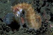 Photo: dd001068Thorny seahorse, Hippocampus histrix, Lembeh Strait, Indopacific, Indonesia
