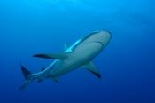 Photo: dd001588Blacktip Shark, Carcharhinus limbatus, Bahamas, Atlantic