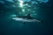 Photo: dd001589Blacktip Shark, Carcharhinus limbatus, Bahamas, Atlantic