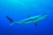 Photo: dd001590Blacktip Shark, Carcharhinus limbatus, Bahamas, Atlantic