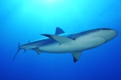 Photo: dd001698     Blacktip Shark , Carcharhinus limbatus,  Bahamas, Atlantic