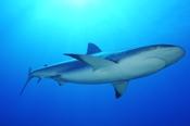 Photo: dd001698Blacktip Shark, Carcharhinus limbatus, Bahamas, Atlantic