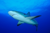 Photo: dd001880Blacktip Shark, Carcharhinus limbatus, Bahamas, Atlantic