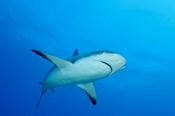 Photo: dd001881     Blacktip Shark , Carcharhinus limbatus,  Bahamas, Atlantic