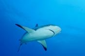 Photo: dd001881Blacktip Shark, Carcharhinus limbatus, Bahamas, Atlantic