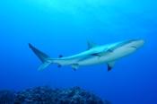 Photo: dd001882Blacktip Shark, Carcharhinus limbatus, Bahamas, Atlantic