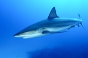 Photo: dd001884     Blacktip Shark , Carcharhinus limbatus,  Bahamas, Atlantic