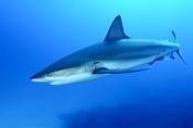 Photo: dd001884Blacktip Shark, Carcharhinus limbatus, Bahamas, Atlantic
