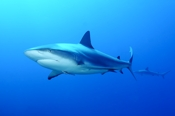 Photo: dd001885Blacktip Shark, Carcharhinus limbatus, Bahamas, Atlantic