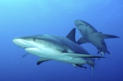Photo: dd001888     Blacktip Shark , Carcharhinus limbatus,  Bahamas, Atlantic