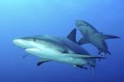 Photo: dd001888Blacktip Shark, Carcharhinus limbatus, Bahamas, Atlantic