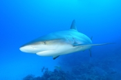 Photo: dd001917Blacktip Shark, Carcharhinus limbatus, Bahamas, Atlantic