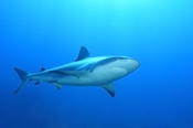 Photo: dd002001     Blacktip Shark , Carcharhinus limbatus,  Bahamas, Atlantic