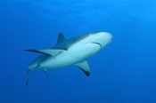 Photo: dd002002     Blacktip Shark , Carcharhinus limbatus,  Bahamas, Atlantic