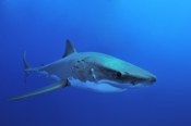 Photo: dd000830Great White Shark, Carcharodon carcharias, Isla Guadalupe, Pacific, Mexico