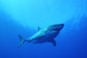 Photo: dd001378     Great White Shark , Carcharodon carcharias,  Isla Guadalupe, Pacific, Mexico