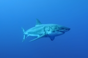 Photo: dd001426     Great White Shark , Carcharodon carcharias,  Isla Guadalupe, Pacific, Mexico